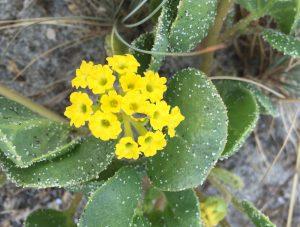 yellow sand-verbena